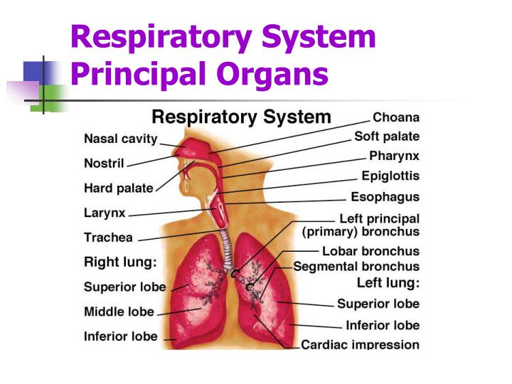 Ppt Respiratory System Powerpoint Presentation Id4829833