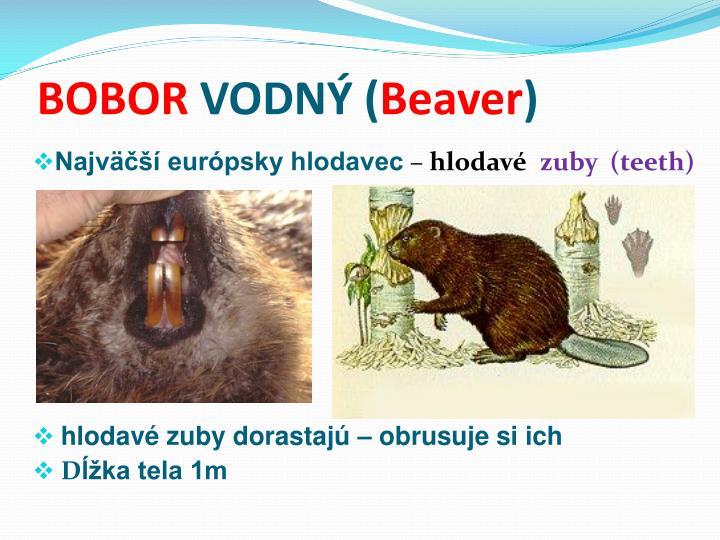 Bobor vodn beaver
