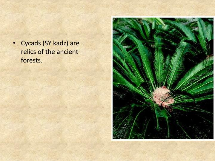 Cycads (SY kadz) are relics of the ancient forests.
