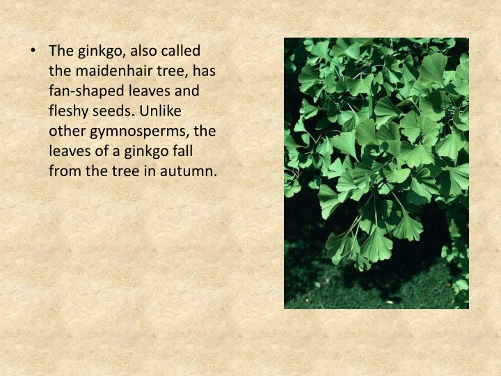 The ginkgo, also called the maidenhair tree, has fan-shaped leaves and fleshy seeds. Unlike other gymnosperms, the leaves of a ginkgo fall from the tree in autumn.