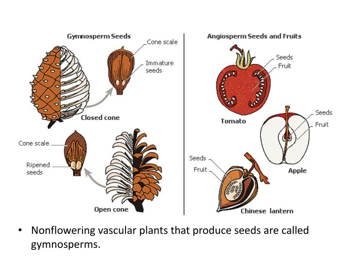 Nonflowering vascular plants that produce seeds are called gymnosperms.