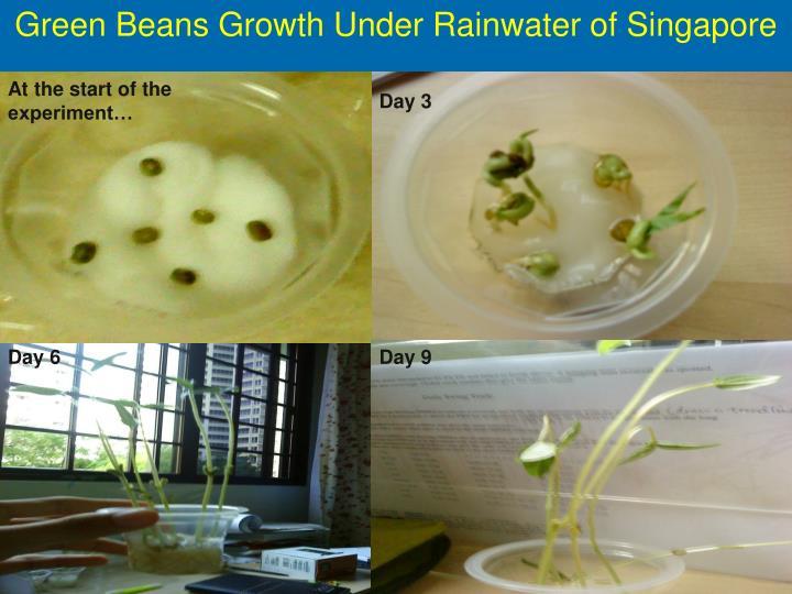 Green Beans Growth Under Rainwater of Singapore