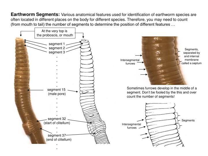 Earthworm Segments: