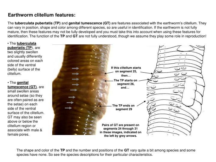 Earthworm clitellum features: