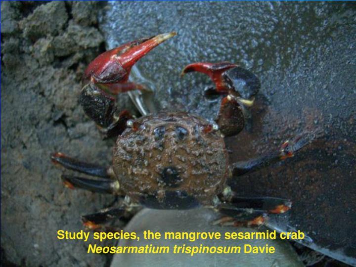 Study species, the mangrove sesarmid crab