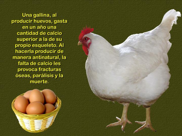 Una gallina, al producir huevos, gasta en un año una cantidad de calcio superior a la de su propio esqueleto. Al hacerla producir de manera antinatural, la falta de calcio les provoca fracturas óseas, parálisis y la muerte.