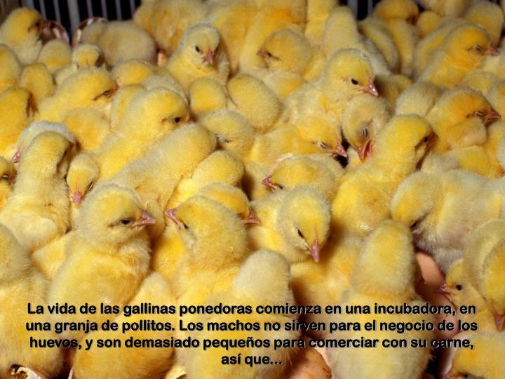 La vida de las gallinas ponedoras comienza en una incubadora, en una granja de pollitos. Los machos no sirven para el negocio de los huevos, y son demasiado pequeños para comerciar con su carne, así que...