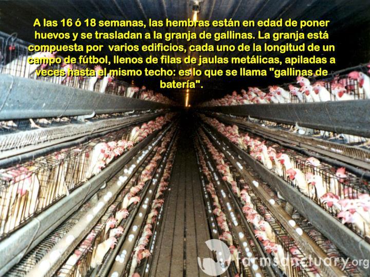 """A las 16 ó 18 semanas, las hembras están en edad de poner huevos y se trasladan a la granja de gallinas. La granja está compuesta por  varios edificios, cada uno de la longitud de un campo de fútbol, llenos de filas de jaulas metálicas, apiladas a veces hasta el mismo techo: es lo que se llama """"gallinas de batería""""."""