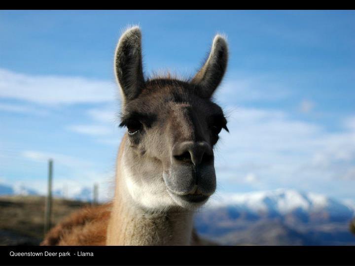 Queenstown Deer park  - Llama