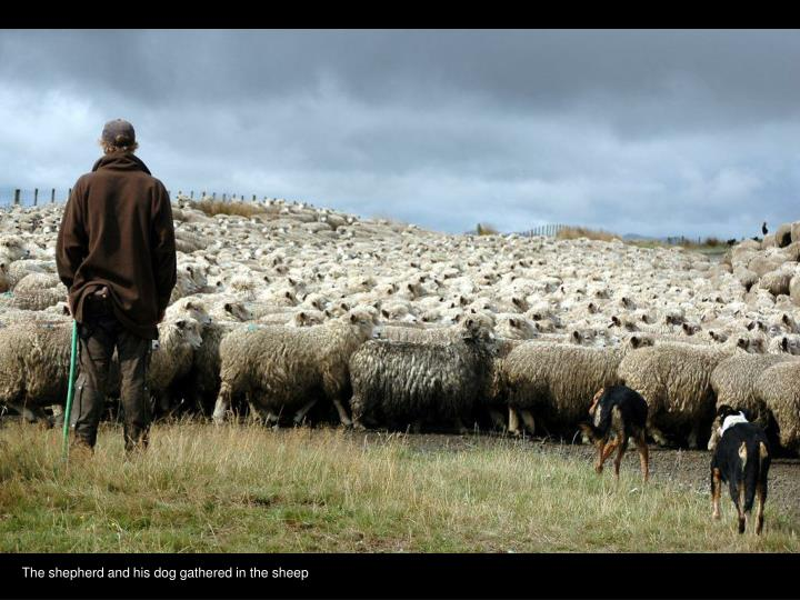 The shepherd and his dog gathered in the sheep