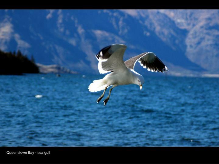 Queenstown Bay - sea gull