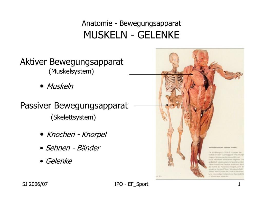 PPT - Anatomie - Bewegungsapparat MUSKELN - GELENKE PowerPoint ...