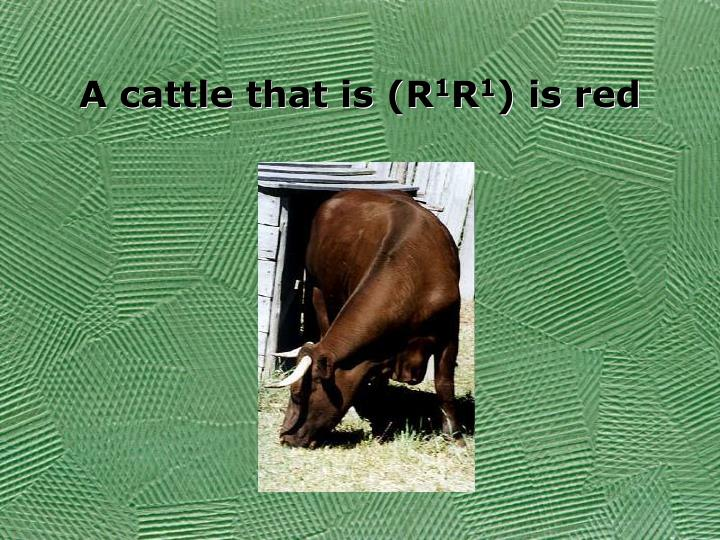 A cattle that is (R