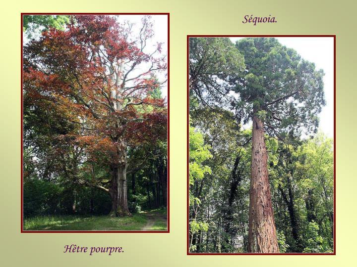 Séquoia.