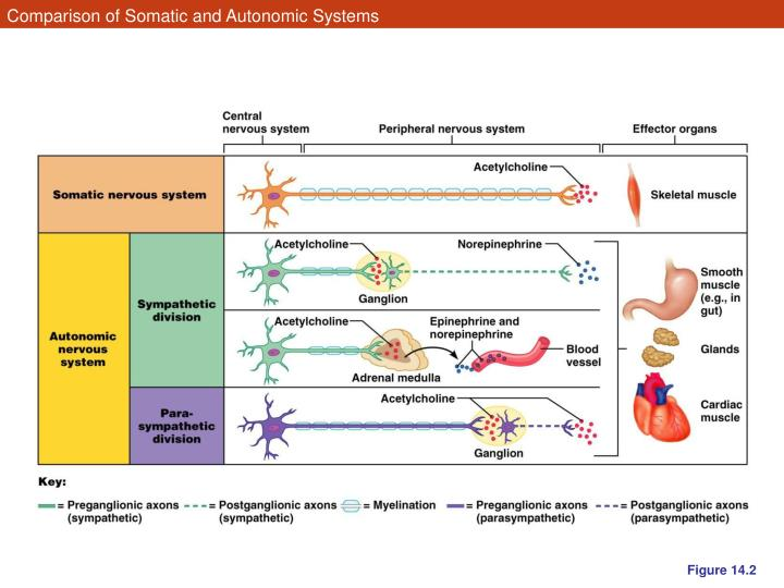 autonomic and somatic nervous system comparison