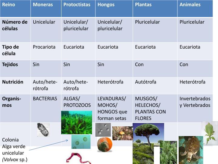 Colonia Alga verde unicelular