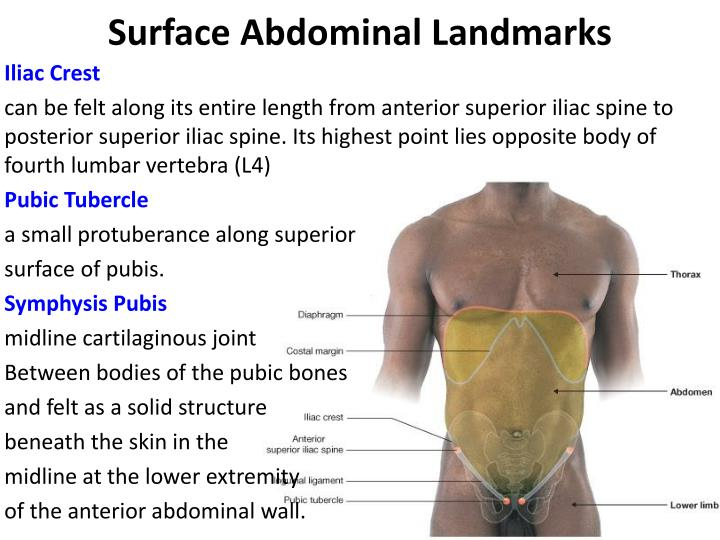 Ppt Posterior Abdominal Wall Powerpoint Presentation Id4864651