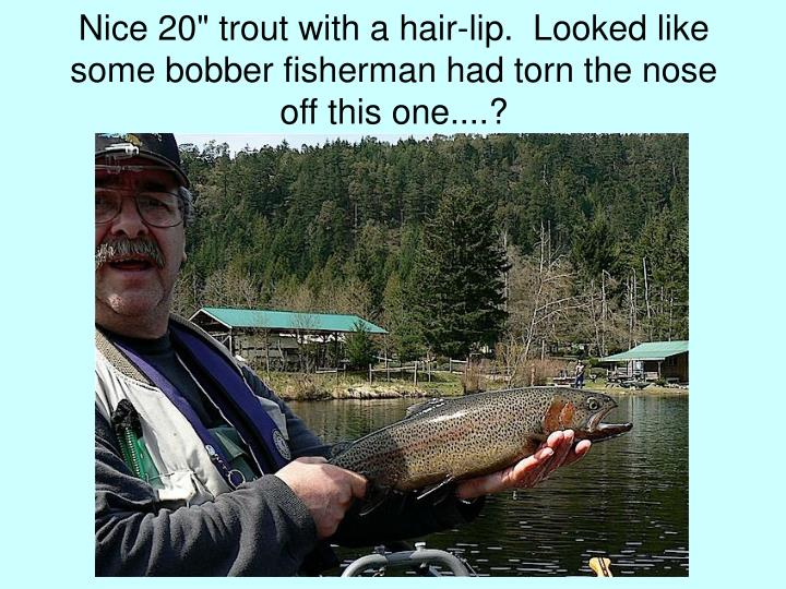 "Nice 20"" trout with a hair-lip.  Looked like some bobber fisherman had torn the nose off this one....?"