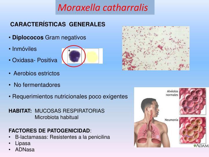 Moraxella catharralis