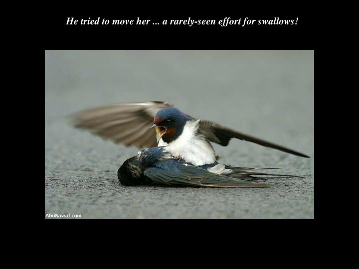 He tried to move her ... a rarely-seen effort for swallows!