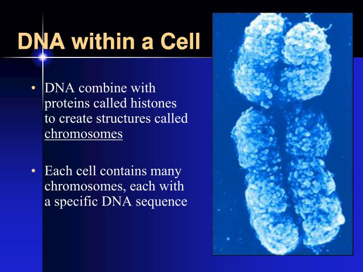 DNA within a Cell