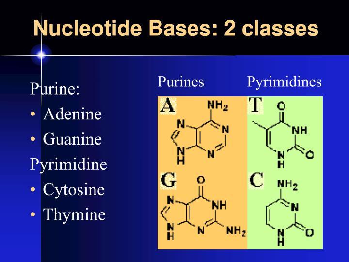 Nucleotide Bases: 2 classes