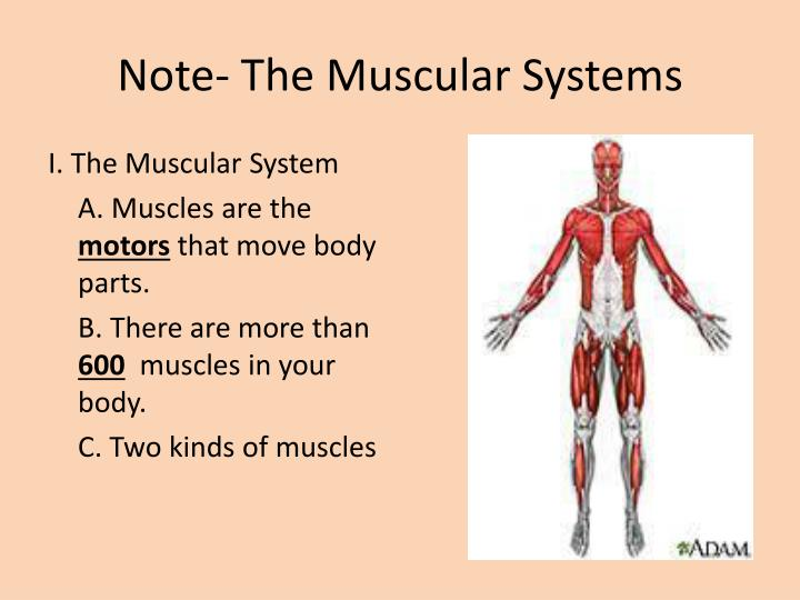 Ppt The Muscular System Powerpoint Presentation Id4880379