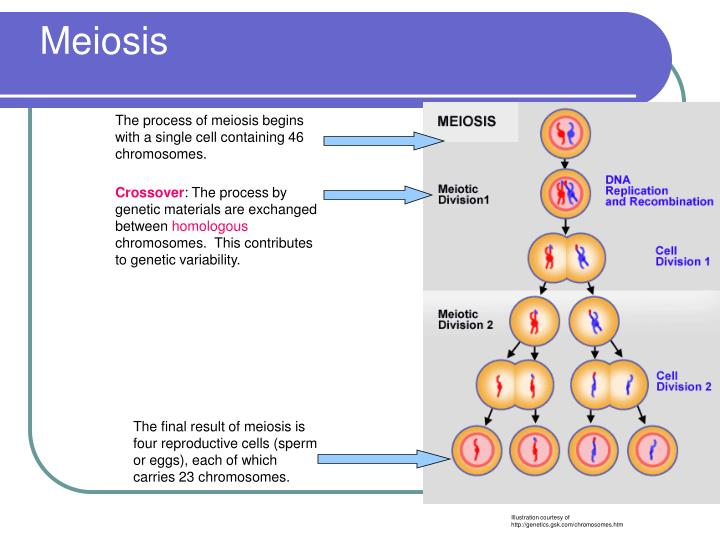 name two ways meiosis contributes to genetic recombination Name two ways meiosis two ways that meiosis contributes to genetic recombination describe two ways in which genetic recombination occurs during meiosis.