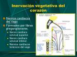 inervaci n vegetativa del coraz n4