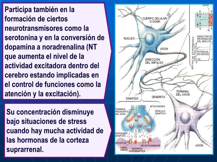 Participa también en la formación de ciertos neurotransmisores como la serotonina y en la conversión de dopamina a noradrenalina (NT que aumenta el nivel de la actividad excitadora dentro del cerebro estando implicadas en el control de funciones como la atención y la excitación).