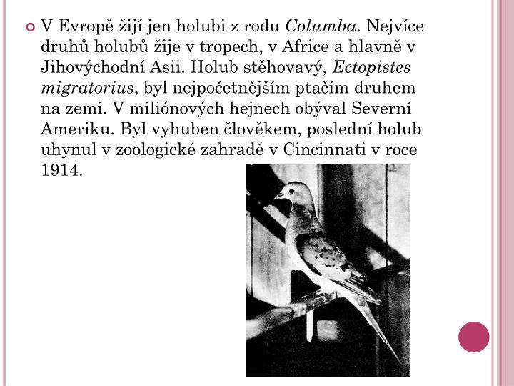 V Evropě žijí jen holubi z rodu