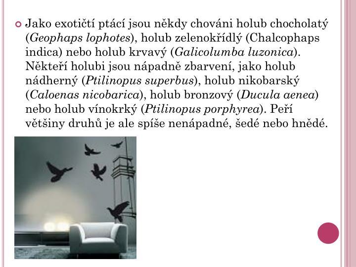 Jako exotičtí ptácí jsou někdy chováni holub chocholatý (