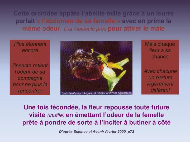 Cette orchidée appâte l'abeille mâle grâce à un leurre parfait