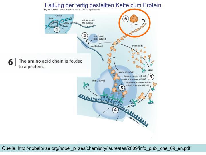 Faltung der fertig gestellten Kette zum Protein