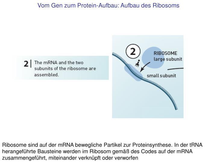 Vom Gen zum Protein-Aufbau: Aufbau des Ribosoms