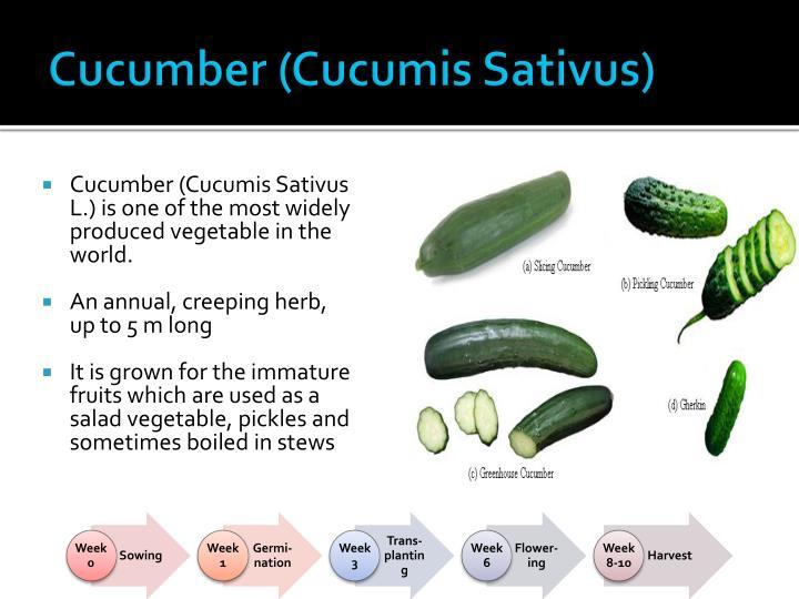 Cucumber (