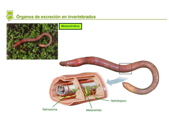 PPT - LA EXCRECIÓN EN ANIMALES PowerPoint Presentation..