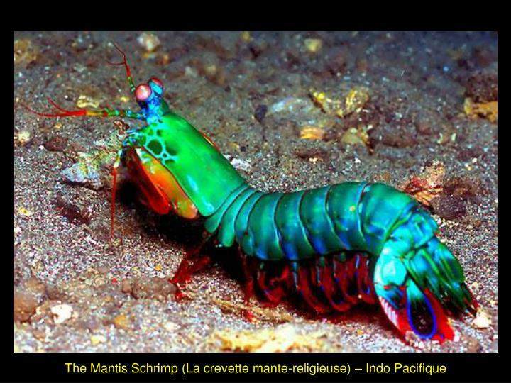 The Mantis Schrimp (La crevette mante-religieuse) – Indo Pacifique