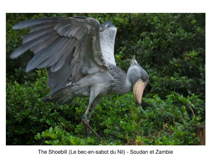 The Shoebill (Le bec-en-sabot du Nil) -