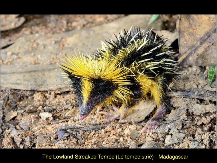 The Lowland Streaked Tenrec (Le tenrec strié) - Madagascar
