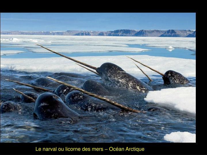 Le narval ou licorne des mers – Océan Arctique