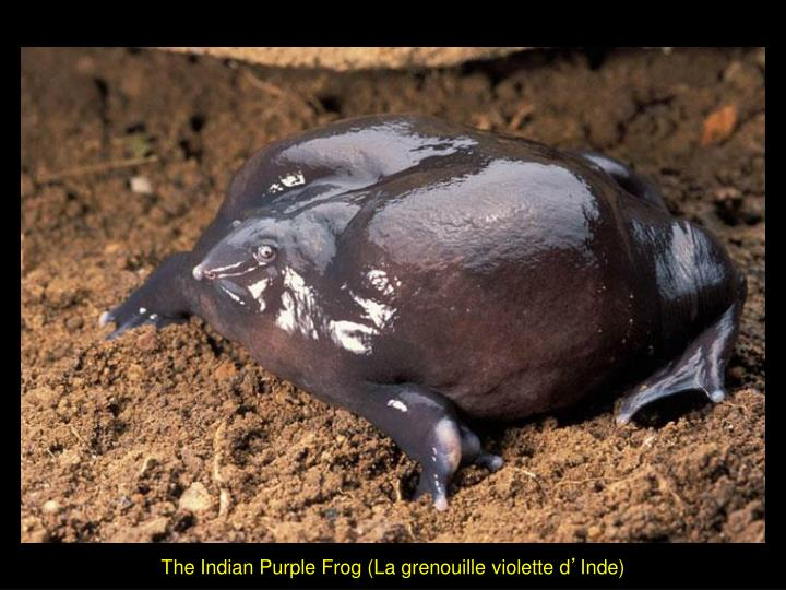 The Indian Purple Frog (La grenouille violette d
