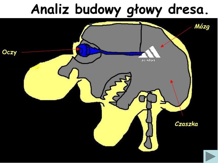Analiz budowy głowy dresa.