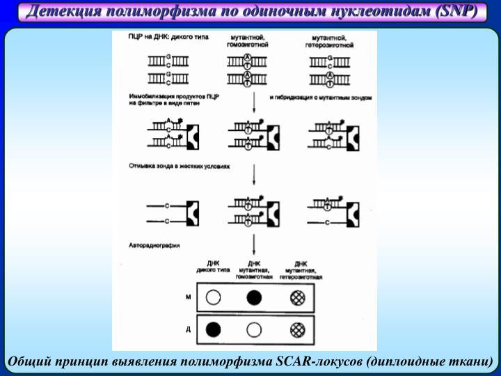 Детекция полиморфизма по одиночным нуклеотидам (
