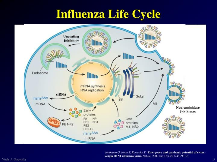 Influenza Life Cycle