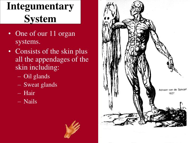 PPT - Integumentary System PowerPoint Presentation - ID:4919165
