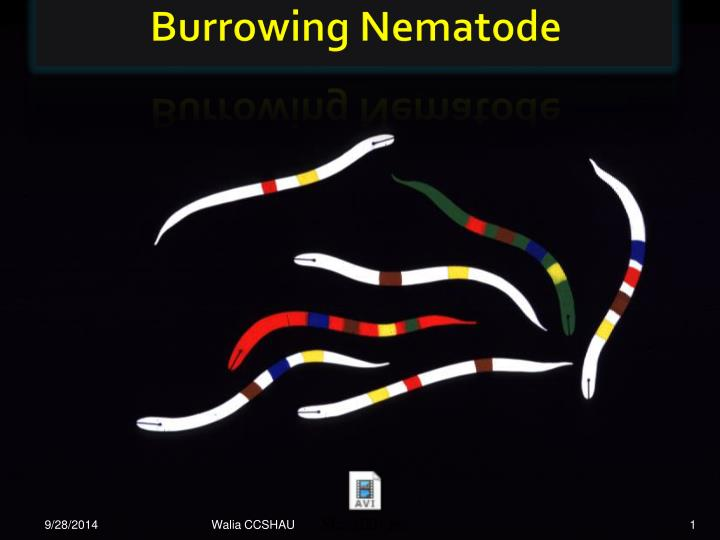 burrowing nematode