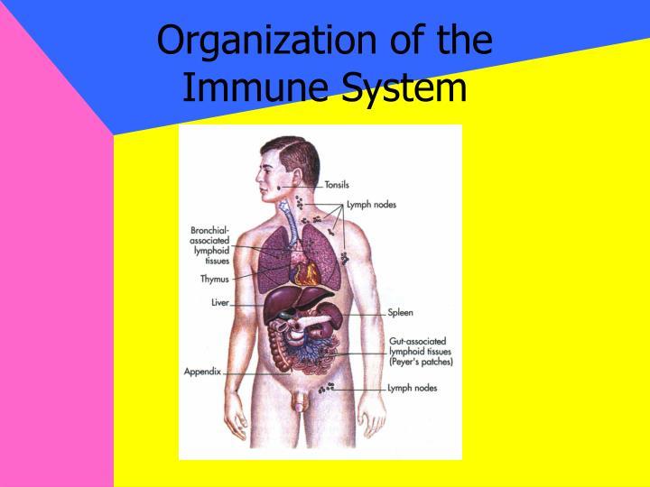 Organization of the immune system