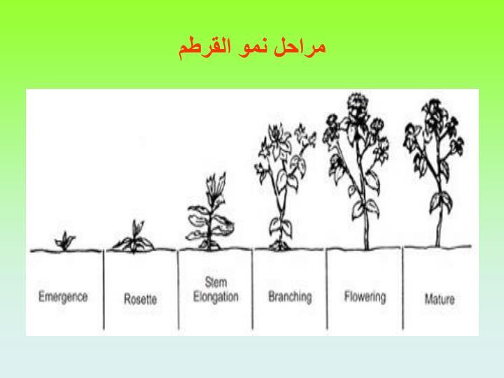 مراحل نمو القرطم