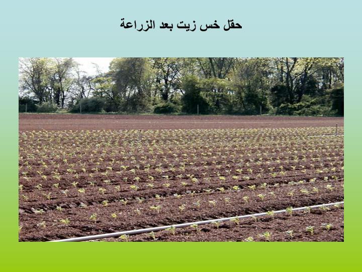 حقل خس زيت بعد الزراعة
